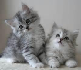 siberian cats silver siberian kittens silver siberian cats available