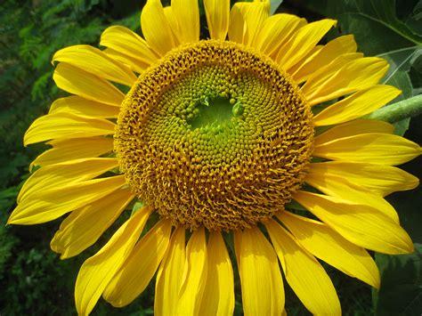volet  favorite  flora bunga matahari