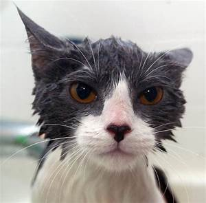Laver Un Chaton : comment laver son chat 10 tapes ~ Nature-et-papiers.com Idées de Décoration
