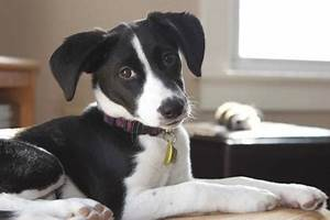 Ollie the Border Collie Mix   Puppies   Daily Puppy