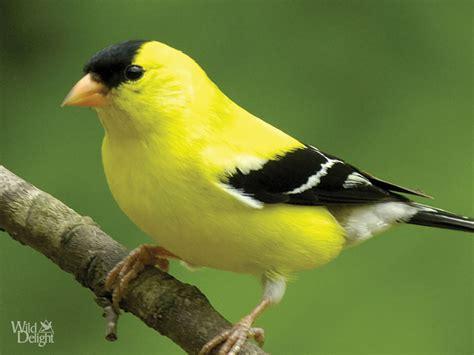 american goldfinch wild delightwild delight