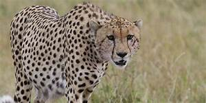Cheetahs  The Supercar Of The Big Cat World