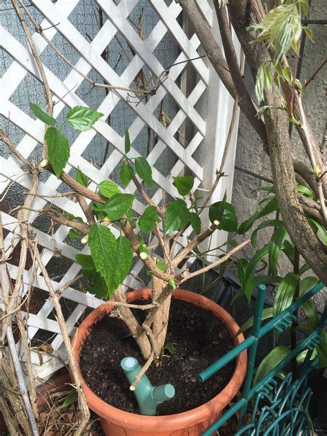 hibiskus im winter hibiskus schneiden tipps tricks f 252 r den perfekten schnitt plantura