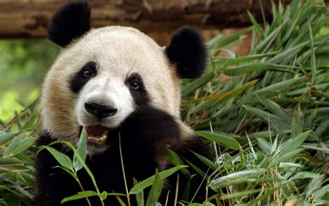 79+ Panda Wallpapers On Wallpaperplay