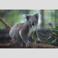 Std Is Ravaging Populations Of This Endangered Koala