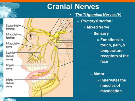 lab exercise 11 cranial nerves ppt