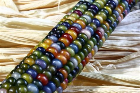 glass gem seeds ornamental corn glass gem seeds garden hoard hand harvested heirloom seeds grown in