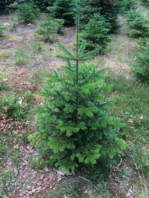 nordmanntanne kaufen der beliebteste weihnachtsbaum