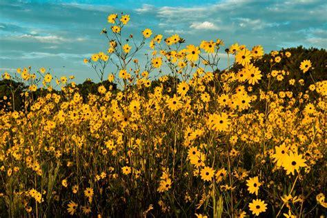 trip  floridas neverending sunflower field