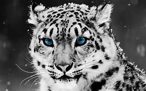 snow blue eye leopard wallpapers hd wallpapers id 5025