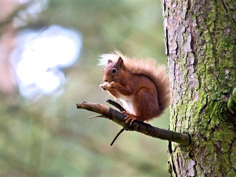 squirrel pictures cute red squirrel pictures