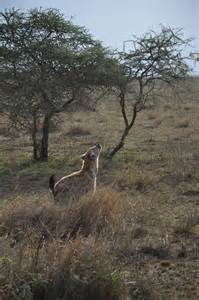 Hyena Animal