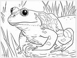 Coloring Frogs Simple Grenouille Children Animaux Dessin Animals Coloriage Imprimer sketch template
