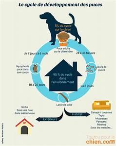 Puce De Chien : puces du chien causes sympt mes et produits anti puces ~ Melissatoandfro.com Idées de Décoration