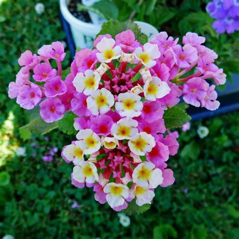 lantana plant different lantana plant varieties types of lantana for the garden