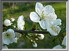 Bild im Rahmen schöne Kirschblüte im Rahmen gratis