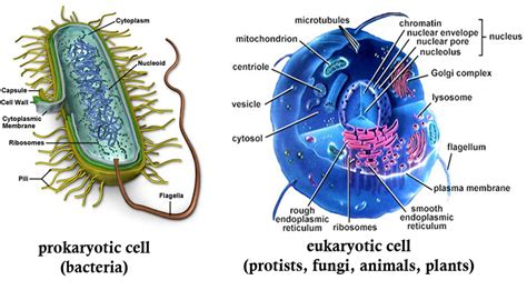 Prokaryotic Cell Vs Eukaryotic Cell Thinglink
