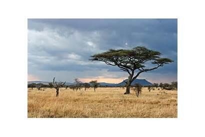 Serengeti Safari Kenya Plain Tree Acacia Africa