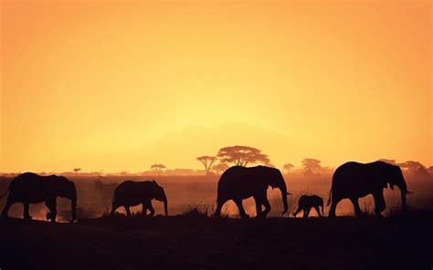 Manada Del Elefante Silueta Fondos De Pantalla Gratis