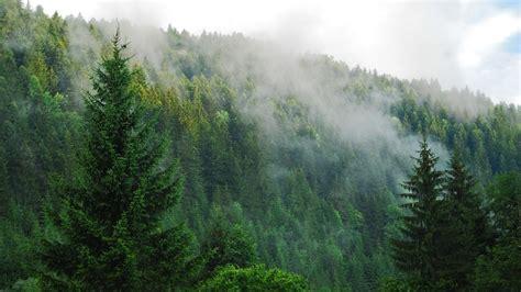 Fog Over A Pine Forest Wallpaper
