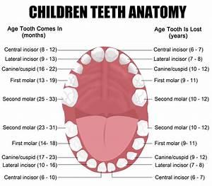 Children Teeth Anatomy