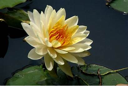 Flower Lotus Wallpapers Flowers Background National