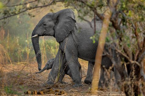 rare african park  elephants  thriving