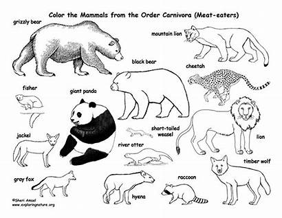 Coloring Carnivore Carnivores Pages Printable Drawing Deciduous