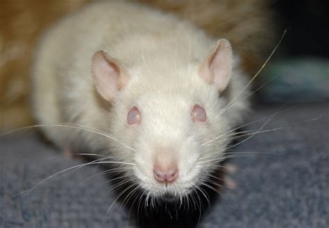 White Rat: About Pink and Black Eyed Whites (PEW & BEW ...