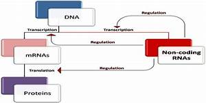 Modified U2019 Central Dogma  The Central Dogma Of Molecular Biology States