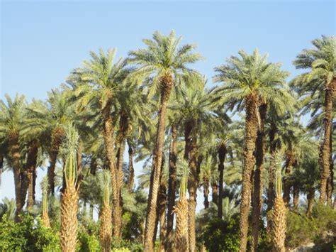 date palm grove shields   indio ca