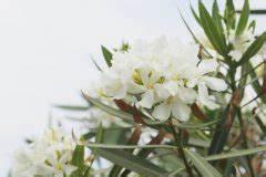 Oleander Draussen überwintern : oleander rausstellen wann und wohin ~ Eleganceandgraceweddings.com Haus und Dekorationen