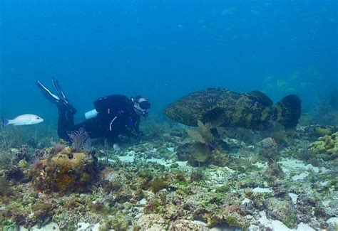 grouper goliath atlantic itajara giant ikan epinephelus tortugas dry mero mulut hiu guasa species endangered national park kerapu asin takluk