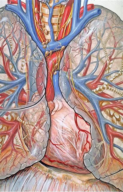 Mediastinum Anatomy Wikiwand