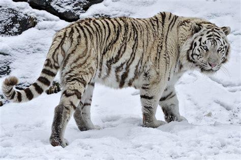 Hd White Tiger Wild Cat Snow Winter High Resolution