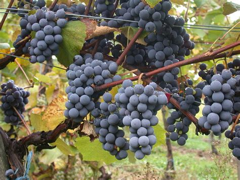 Vitis Vinifera Grape