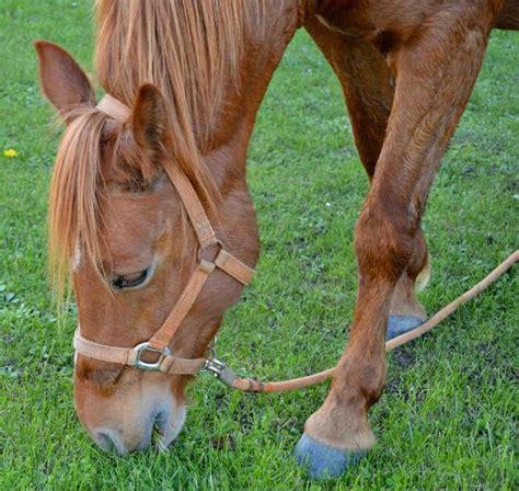 non ruminants horses ruminant