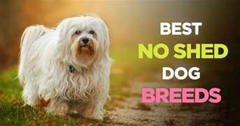 guard dogs that dont shed pups dog breeds picture