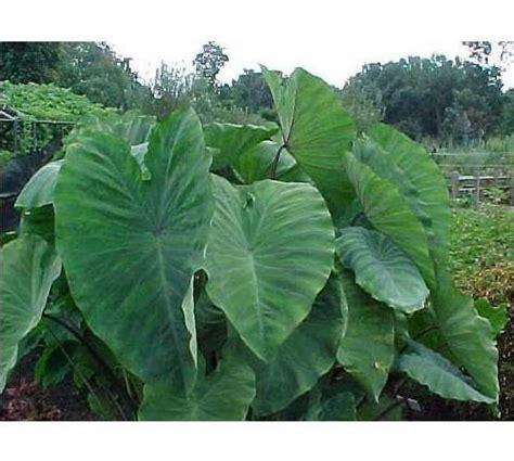 elephant ear tubers best 25 elephant ear bulbs ideas only on pinterest elephant plant container plants and