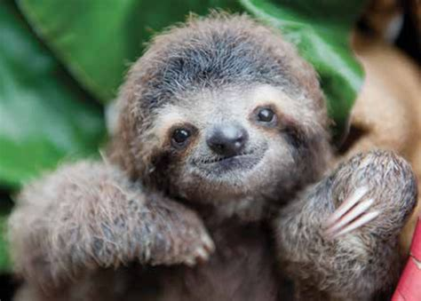 Sloth Images Rip The Beloved Sloth Who Inspired A Scientist