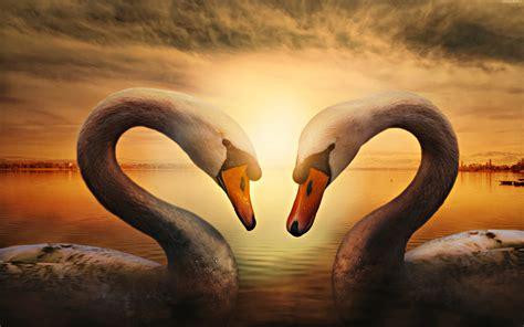 swan laker sunset wallpaper hd  wallpaperscom