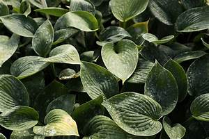 Funkie Big Daddy : hosta sieboldiana 39 big daddy 39 blaugraue garten funkie ~ Michelbontemps.com Haus und Dekorationen
