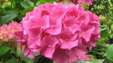 Pflege Von Hortensien Im Garten Pflege Von Hortensien Die