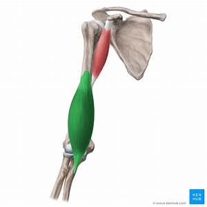 Brachialis Muscle  Musculus Brachialis