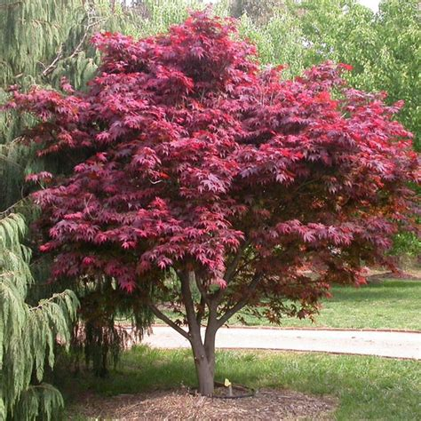 christmas z buy japanese maple trees acer palmatum online in ireland