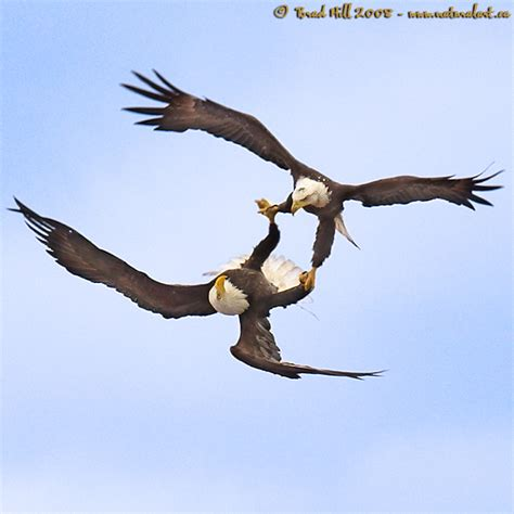 courtship cartwheels 2 the bald eagle is the only bird