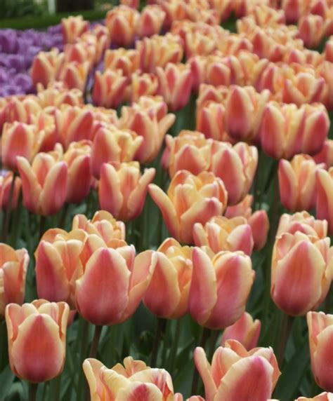 tulip apricot foxx bulbs