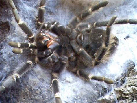 do tarantulas shed their how to tell if your tarantula is molting tarantula spider