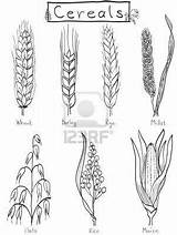 Wheat Barley Rice Drawing Millet Coloring Rye Plant Cereals Drawn Grains Clipart Maize Farm Tattoo Oat Draw Sketches Hands Wet sketch template