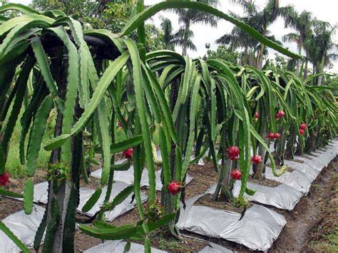 Dragon Fruit Tree And Its Great Benefits Beabeeinc